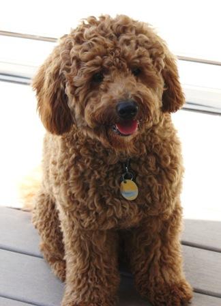 Hondenrassen Die Niet Verharen Tip